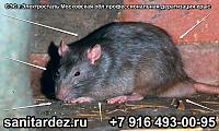 СЭС г. Электросталь Московская обл. профессиональная дератизация крыс
