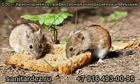 СЭС г. Красноармейск профессиональная дератизация мышей