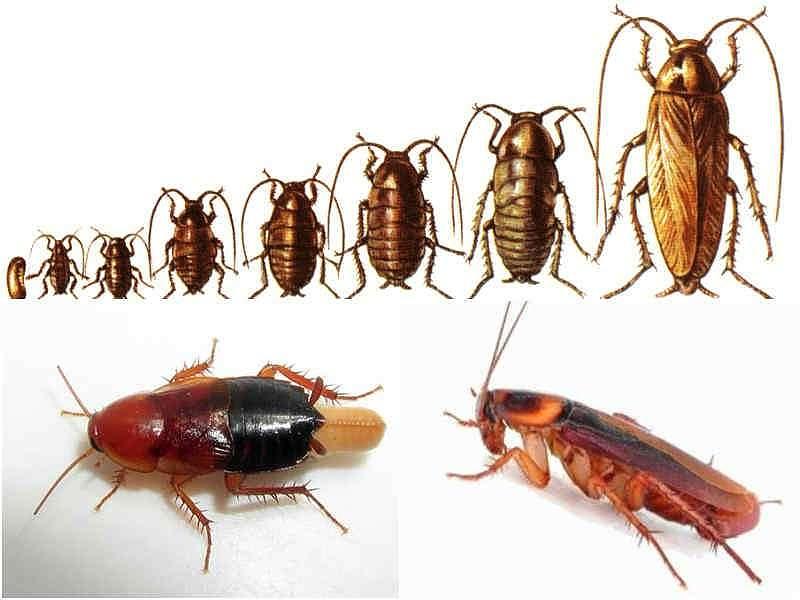 Картинки развитие тараканов